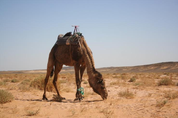 Camel Gutsy Women