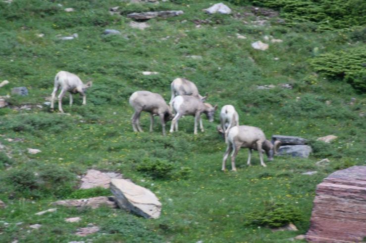Sheep Glacier Park