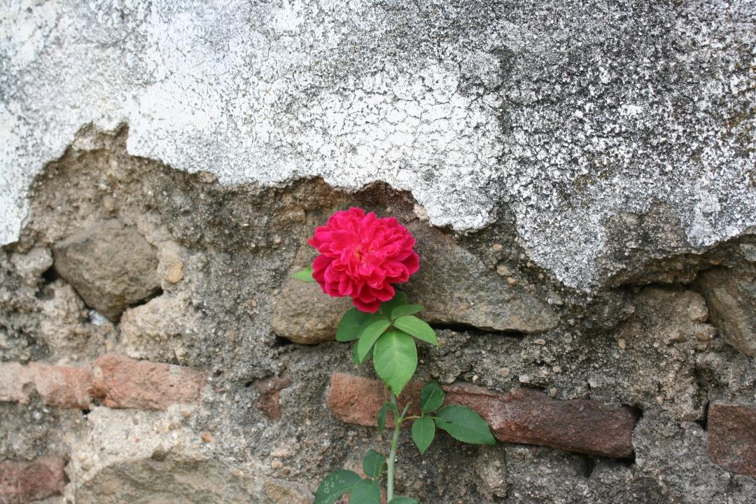 rose convent antigua