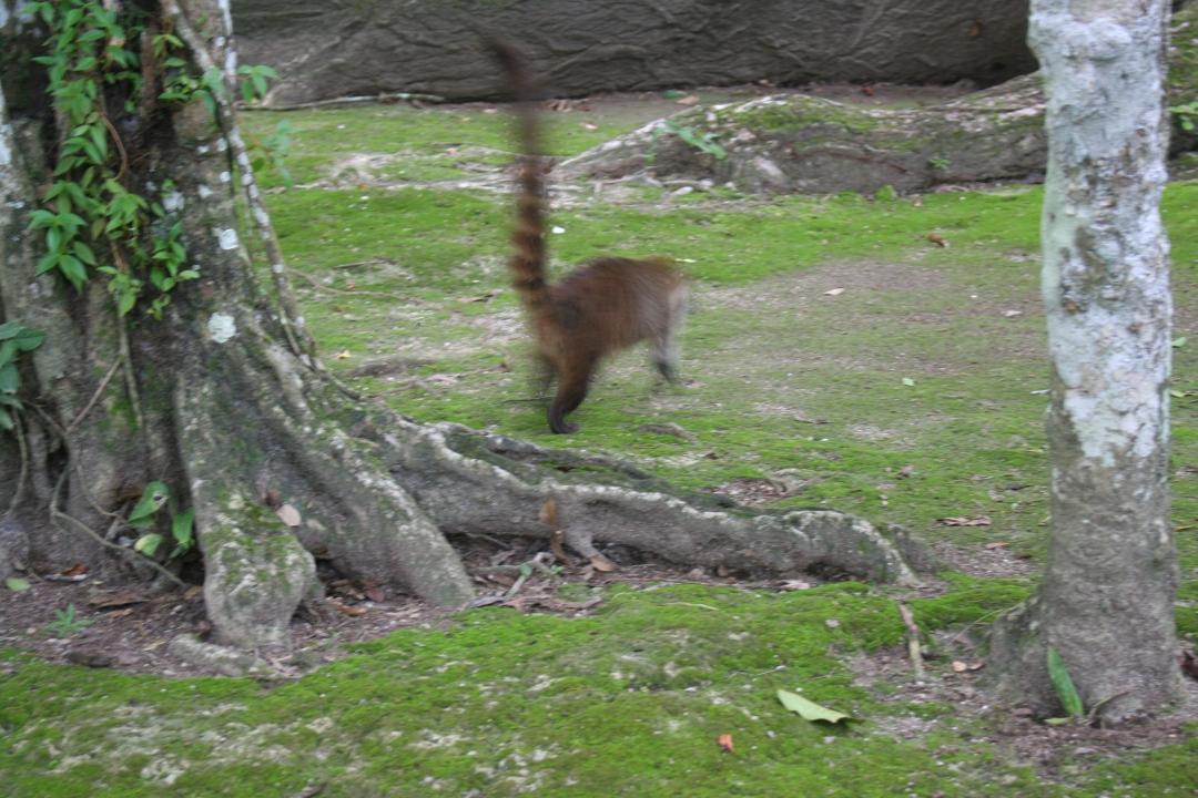 coati tikal guatemala