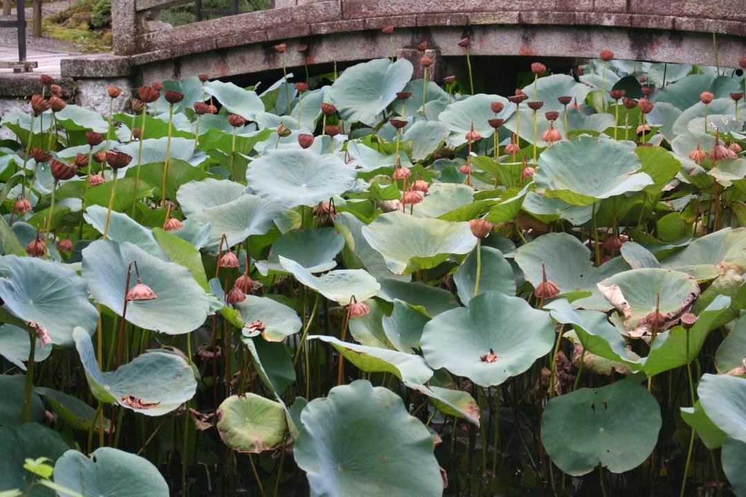 lillies kyoto japan