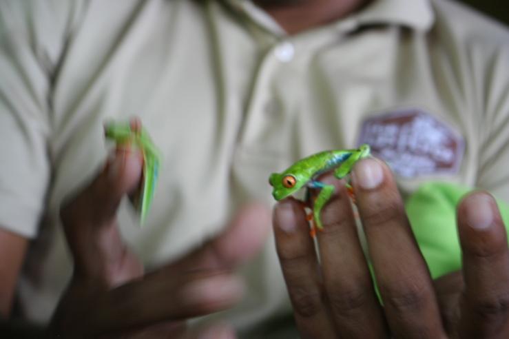 tree frog nicaragua