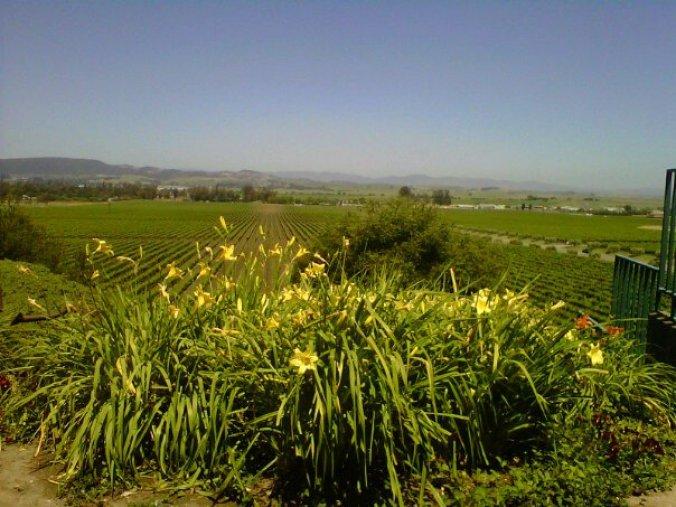 sonoma california grapes